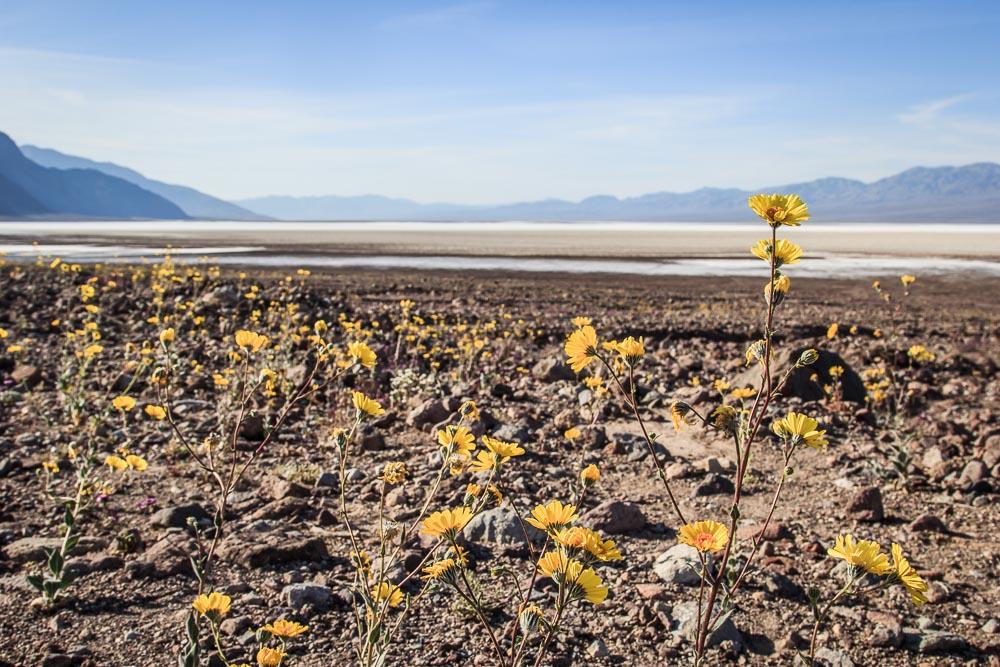Wüstenblumen im Death Valley National Park