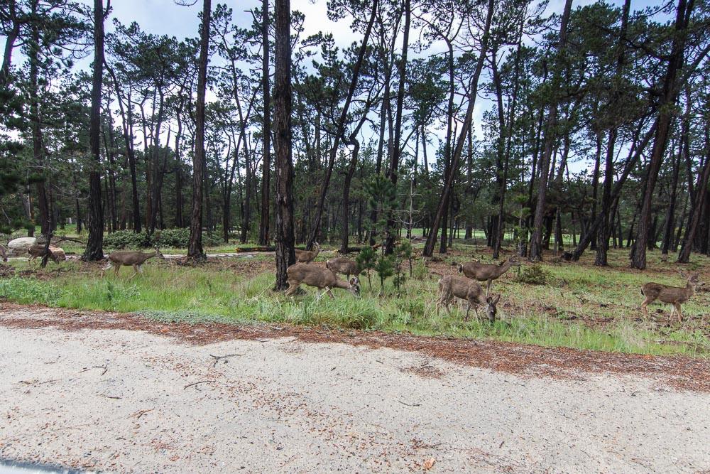 Deer nahe am Golfplatz