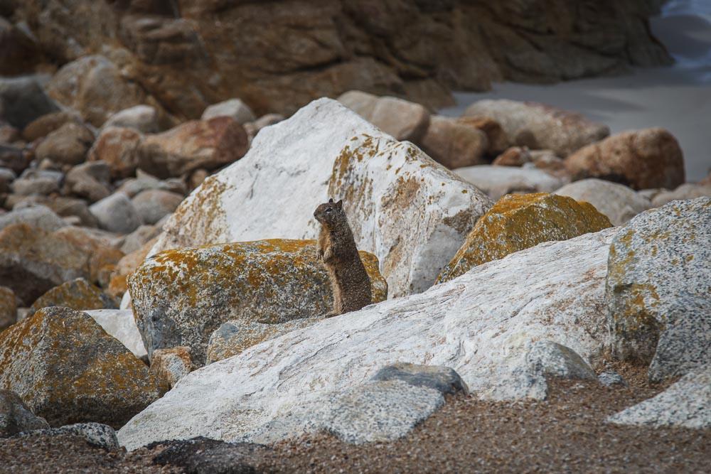 Squirrel auf Steinen am Strand