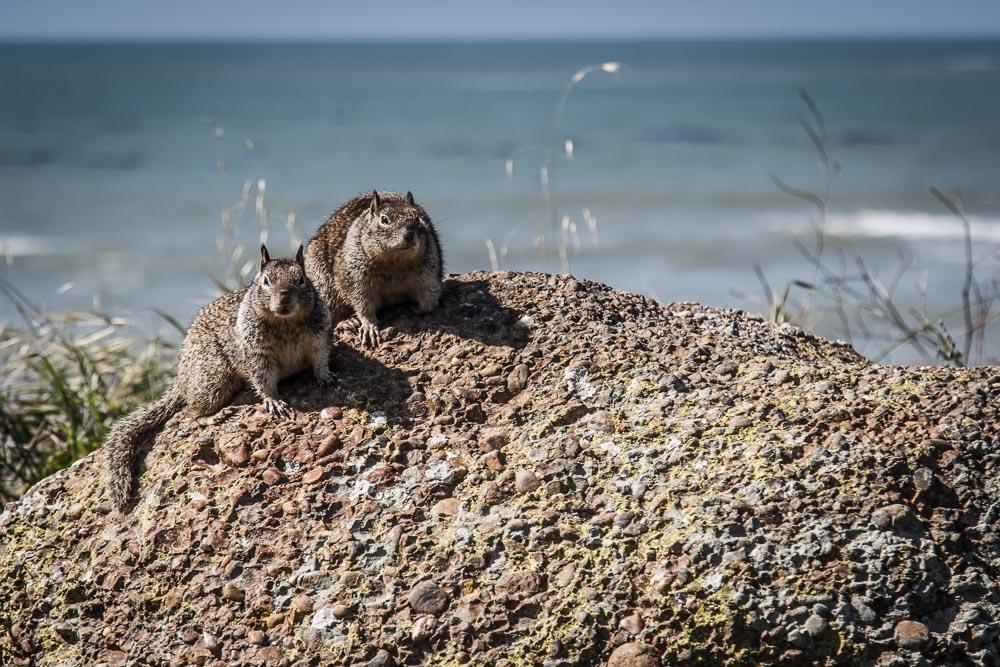 Zwei Squirrel auf einem Felsen nahe der kalifornischen Pazifikküste