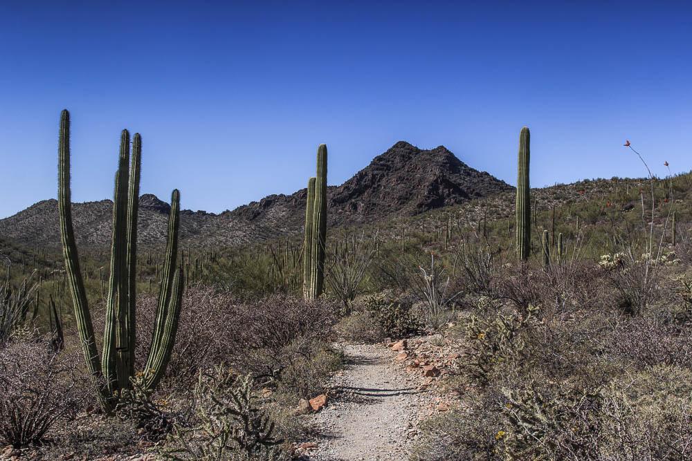 Wanderweg durch die Wüste des Organ Pipe Cactus National Monument entlang der Kakteen. Einer unserer Top 10 der Sehenswürdigkeiten in Arizona.