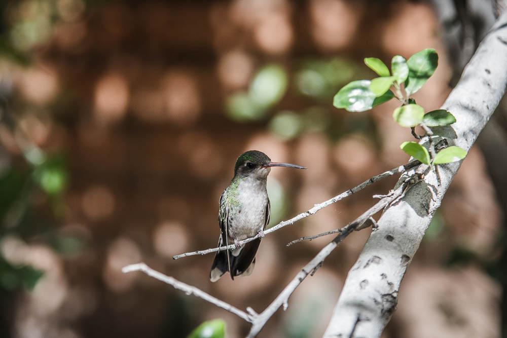 Kolibri auf einem Ast sitzend im Arizona Sonora Desert Museum. Einer unserer Top 10 der Sehenswürdigkeiten in Arizona