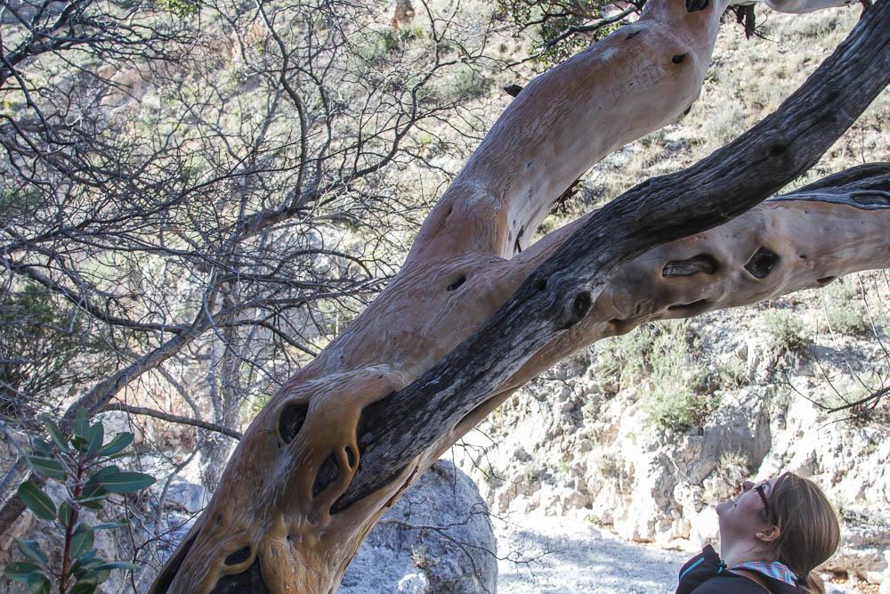 Verbrannter Baum während der Wanderung zur Devils Hall im Guadalupe Mountains National Park. Bildrechte: Christian Volk