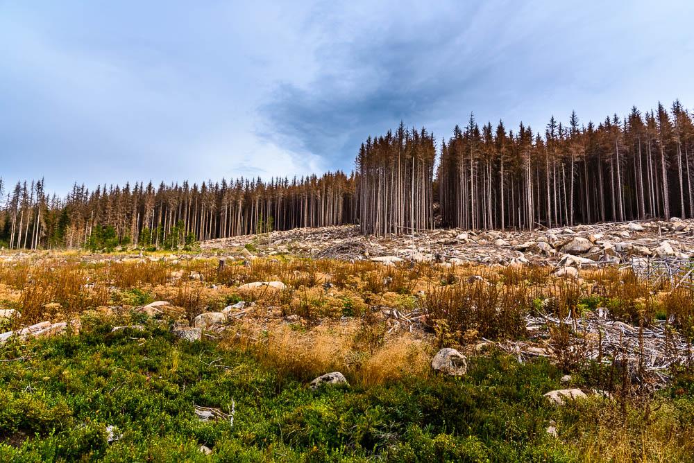 Die deutlich sichtbaren Auswirkungen des Borkenkäfers am Brocken.