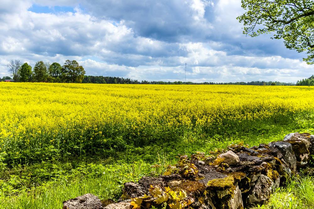 Rapsfeld im Lahemaa Nationalpark in Estland