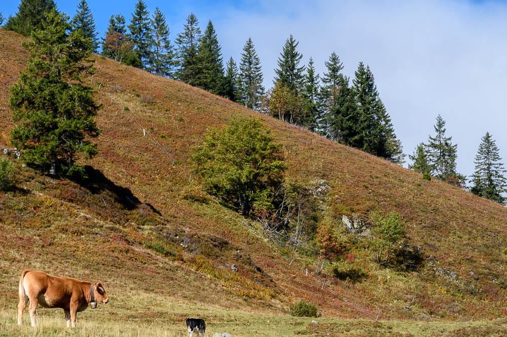 Kuh am Feldberg
