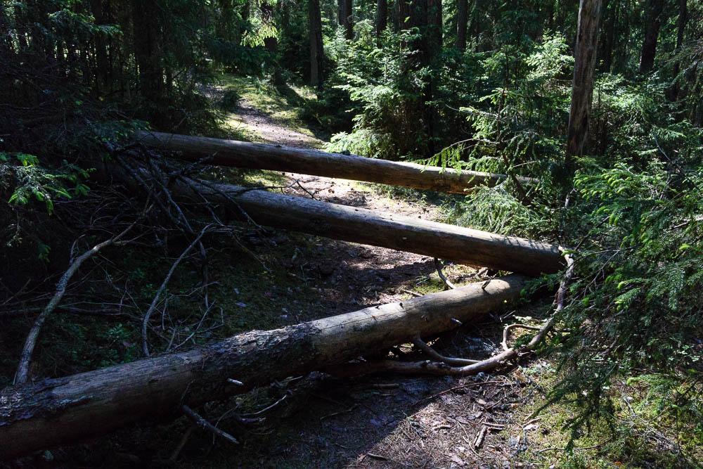 umgestürzte Bäume im Gauja Nationalpark