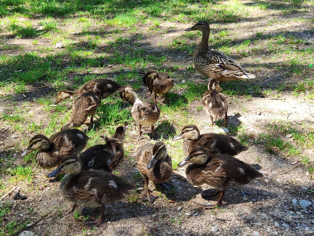 Entenfamilie bei Kaniera ezera