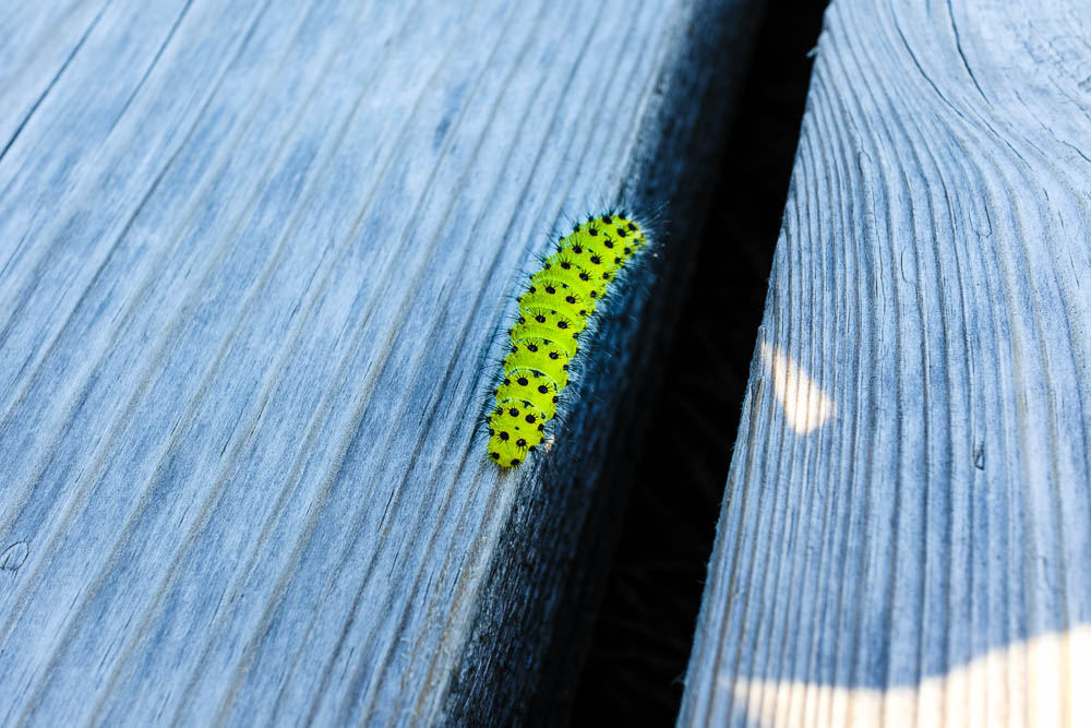 Grüne Raupe mit schwarzen Punkten