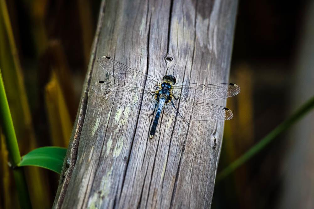 Libelle Makroaufnahme auf einem Holzgeländer