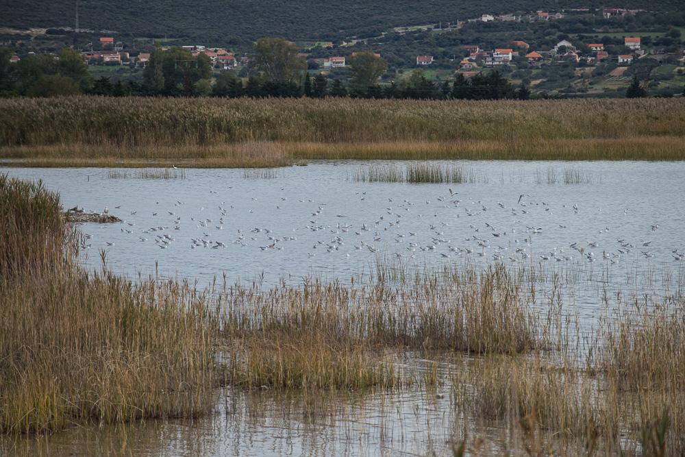 Viele Vögel am Ufer im Naturschutzgebiet bei Pirovac.