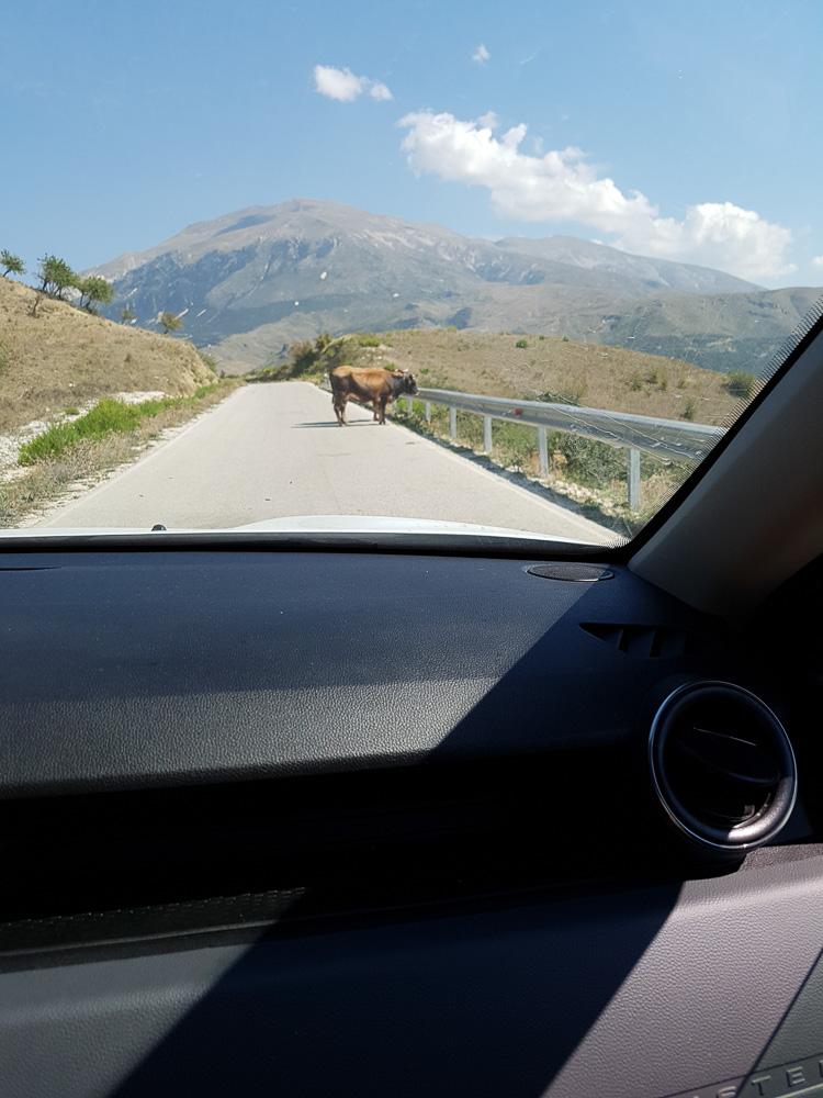 Kuh auf der Straße zur antiken Sportstätte Amantia