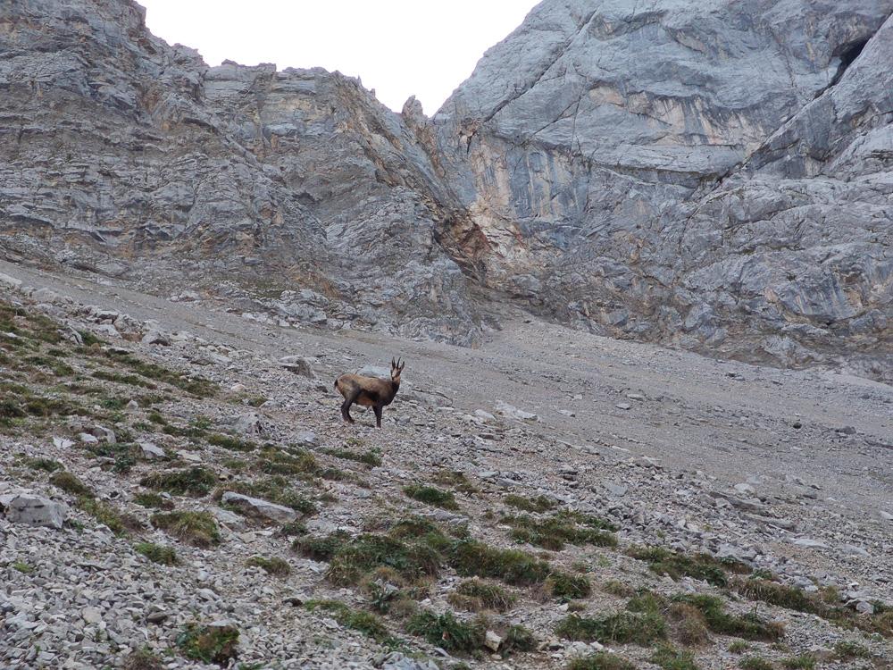Die Gams beäugte uns kritisch, ließ sich aber fotografieren. Am Gamskar, Zugspitze.