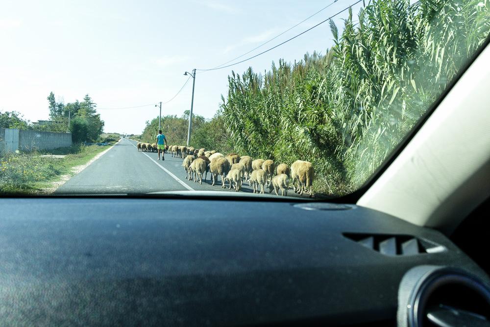 Mit Überraschungen wie diesen muss man in Albanien immer rechnen. So wie die Schafherde hier auf dem Weg zur Ruinenstätte Apollonia.