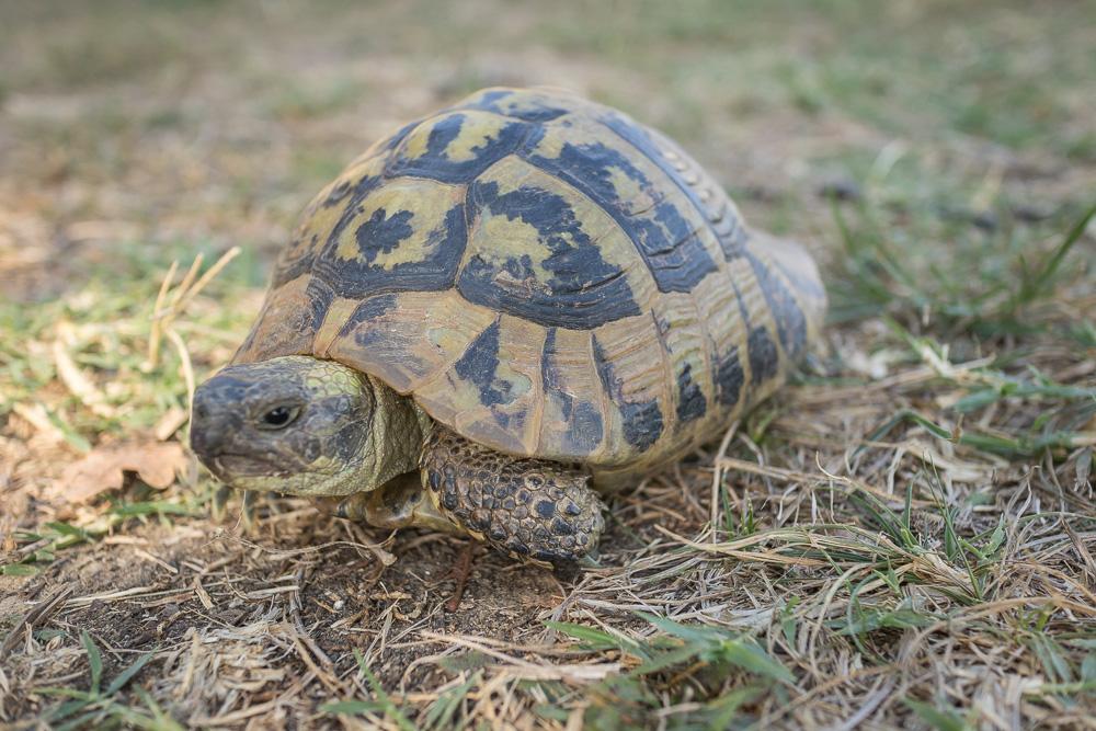 Diese süße Schildkröte ist uns bei unserer Suche nach dem Theater über den Weg gelaufen. Auf dem Gelände der Ruinenstätte Apollonia.