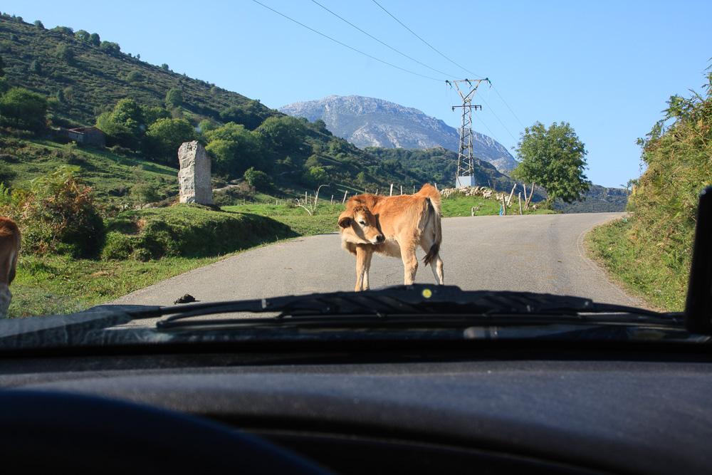 Die kleinen Straßen in den Picos de Europa waren immer wieder mal von Tieren versperrt