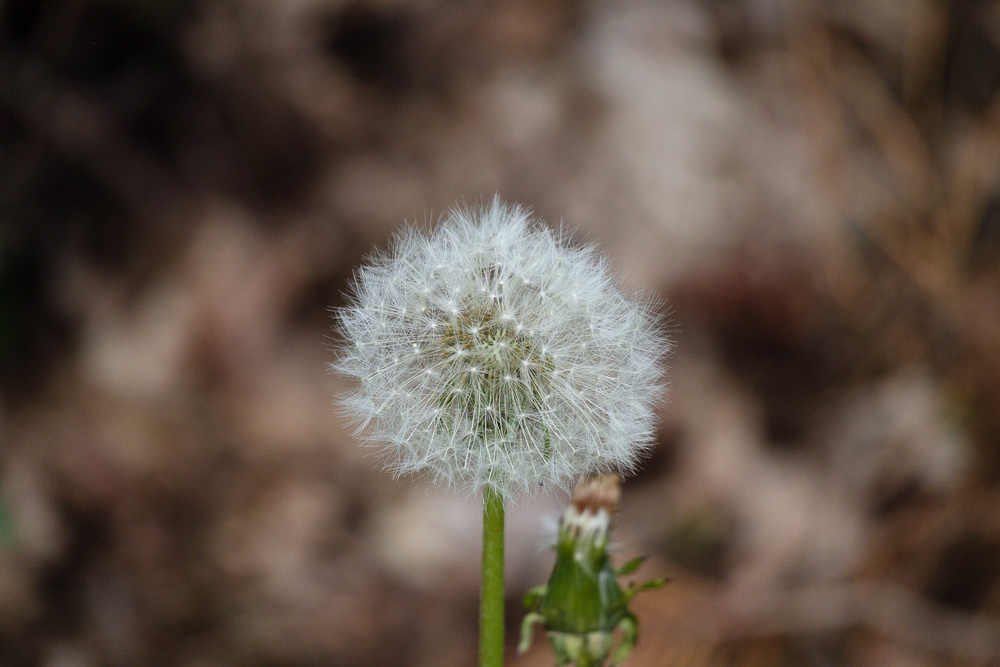 Natur im Nationalpark Žemaitija in Form einer Pusteblume