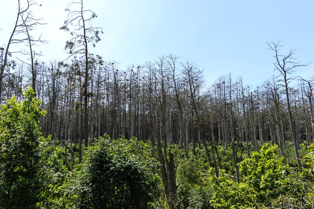 Die Graureiher und Kormorane sorgen mit ihren Ausscheidungen dafür, dass die Bäume ihrer Kolonie ganz kahl werden.