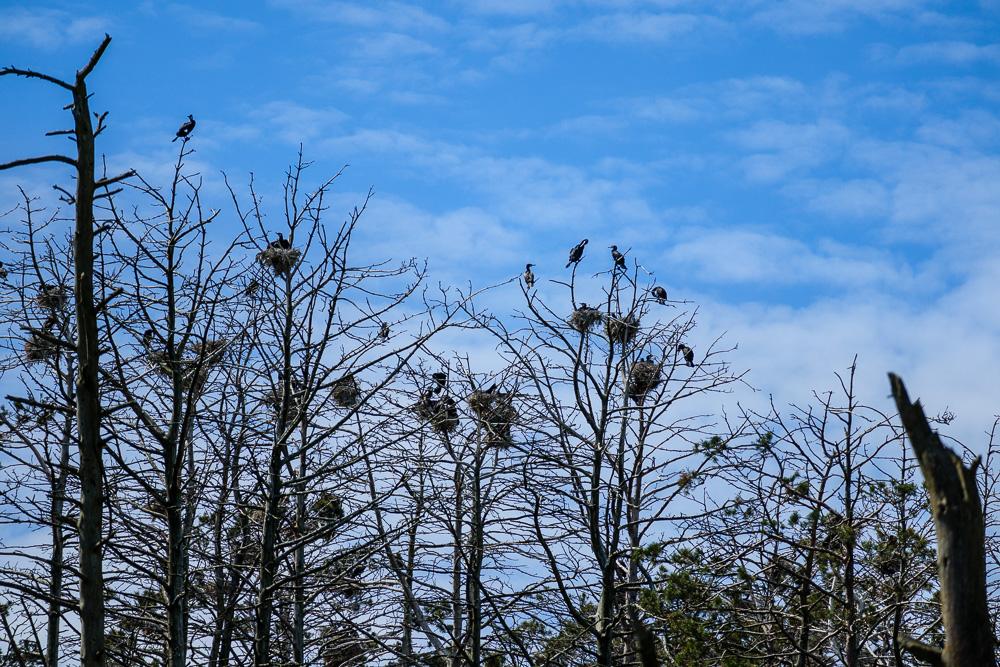 Mit etwas Zoom kann man die Nester der Graureiher und Kormorane auf der Kurischen Nehrung ebenfalls erkennen